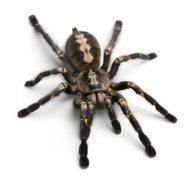 tarantula spider infestation